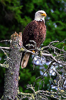 #BE1 Bald Eagle In Tree Top