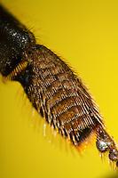 Honigbiene, Hinterbein, Sammelbein zum Sammeln von Pollen mit Kamm und Bürste, Honig-Biene, Biene, Apis mellifera, Apis mellifica, honey bee, hive bee