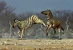 Burchell's Zebra, Equus burchellii, Etosha National Park, Namibia