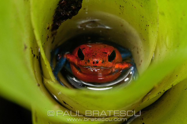 Strawberry Poison Frog or Blue Jeans Poison-dart Frog (Oophaga pumilio)