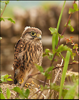BNPS.co.uk (01202 558833)<br /> Pic: AdamTatlow/BNPS<br /> <br /> Young Kestrel.<br /> <br /> Cotswold gamekeeper shoots amazing pictures of British wildlife - without the aid of long lenses and elaborate techniques.<br /> <br /> The incredible photos may look like they have been shot from miles away - but amazingly Adam Tatlow is actually just feet away from his wild subjects.<br /> <br /> The 46-year-old's affinity with nature has allowed him to get up close and personal with some of the UK's most endearing wildlife.<br /> <br /> Adam's trusty camera is never far from his side as he goes about his work as a gamekeeper on an estate in the Cotswolds countryside.<br /> <br /> He has built up a stunning portfolio of snaps that lift the lid on rarely-seen birds and animals found in forests throughout the country.<br /> <br /> Adam's subjects have included timid fox cubs, bounding hares, inquisitive hedgehogs and colourful kingfishers.<br /> <br /> He is so at one with nature that he knows how to call animals to him, and often gets within 30ft of them.