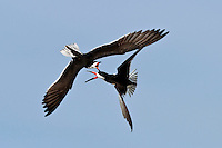 Black Skimmers Fighting in Flight