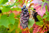 Withered grapes on a grapevine in country garden at Swinbrook in The Cotswolds, Oxfordshire, UK