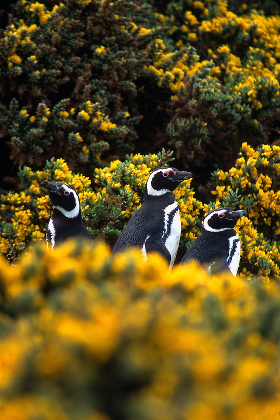Magellanic penguins nest among blooming barberry bushes on the Falkland Islands.
