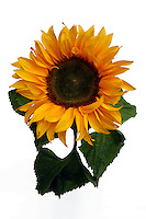 Girasole. Sunflower...