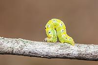 Geometrd Moth (Episemasia cervinaria) caterpillar (larva)