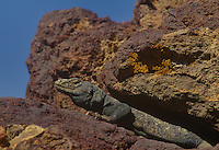 414051009 a wild chuckwalla lizard sauromalus obesus basks on volcanic rocks at fossil falls blm area kern county california