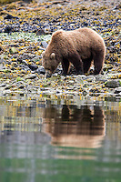 Brown bear (Ursus arctos) foraging for food by waters edge, Katmai National Park, Alaska.
