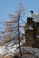 16.11.2008.Chamois (Rupicapra rupicapra).Gran Paradiso National Park, Italy