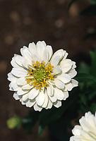 Zinnia 'Fairyland' - white flower