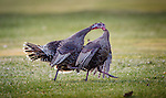 Two young turkeys are locked beak to beak in a confrontation during the spring mating season in western Montana.