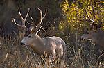 Mule deer bucks in Montana