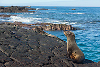 Glapago fur sea lion, James Bay, Stantiago Island, Galapagos Islands, Ecuador.