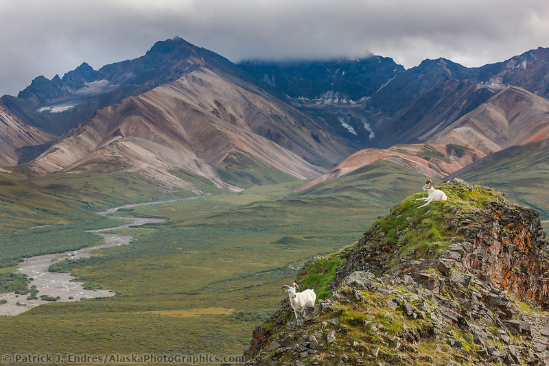 Dall sheep rams on a rock outcrop that overlooks the Polychrome mountains of the Alaska range in Denali National Park, interior, Alaska.
