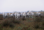 Camargue horses, Ile de la Camargue, France