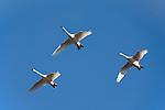Tundra swans in flight, Pungo Unit
