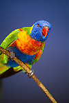 Rainbow lorikeet, Australia