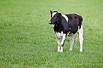 Holstein cow standing in a pasture field