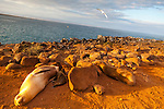 Galapagos sea lions hauled out to rest on North Seymour Island in the Galapagos National Park, Galapagos, Ecuador, South America