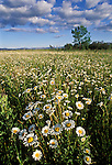 A field of daisies in summer, Montana, USA.