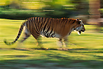 Bengal tiger in motion. (captive)