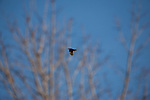 A crow flies among the trees near a suburban development border area in Eden Prairie, Minnesota