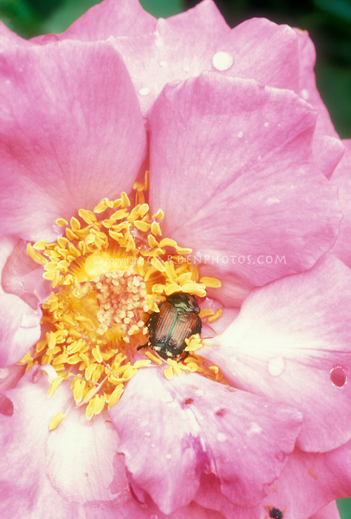Japanese Beetle insect pest Popillia japonica Japanese beetle inside Rosa Electron pink rose flower