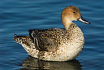 Northern Pintail, Anas acuta, standing in water , Odaito, Hokkaido Island, Japan, japanese, Asian, wilderness, wild, untamed, ornithology.Japan....