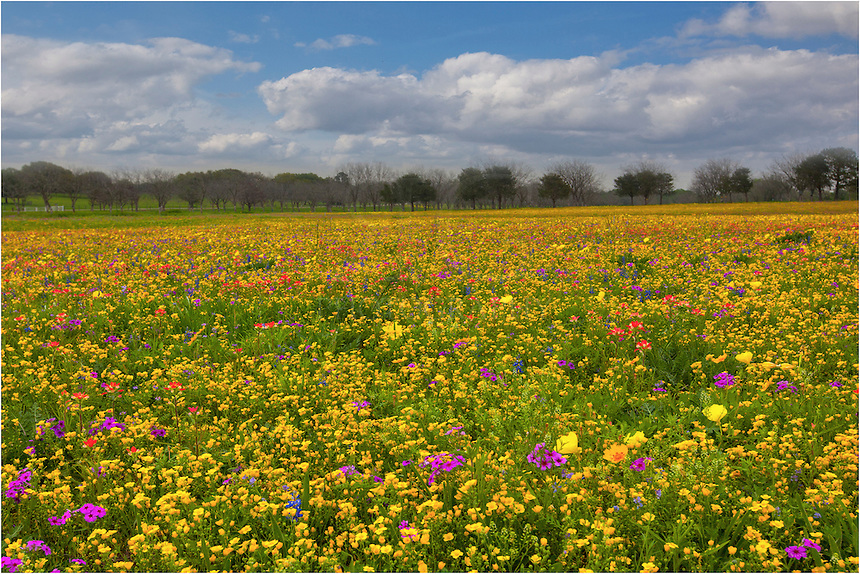 This Texas wildflower image comes from New Berlin just southeast of San Antonio. One of my favorite locations each spring is Churh Road, and in spring when the rains are plentiful, the colors here are plentiful.