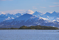 Flock of Brandt geese migrate across the waters of Prince William Sound, Chugach mountains in the distance.