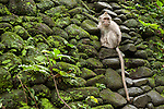 Monkey Forest, Ubud, Bali, Indonesia; a young  crab-eating macaque (Macaca fascicularis) monkey sitting on a moss covered rock wall