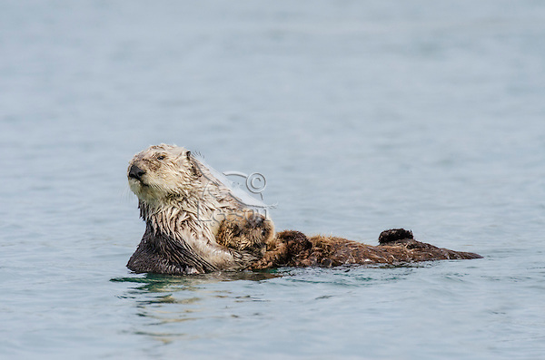 Southern Sea Otter (Enhydra lutris nereis) mother pulling sleeping pup onto her chest.  Central California Coast.