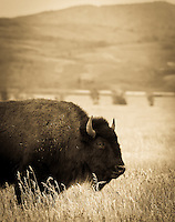Teton Bison - Grand Teton NP - Wyoming