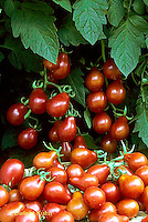 HS09-124x  Tomato - red pear variety