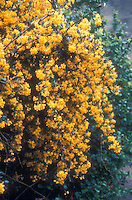 Berberis stenophylla in flower
