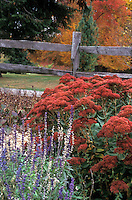 Sedum &amp; Salvia in autumn color with post and rail fence and fall foliage trees