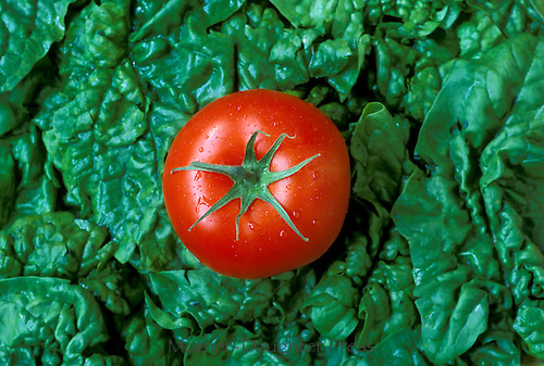 'Lycopersicon lycopersicum, Burpee Big Boy tomato on lettuce-- solo