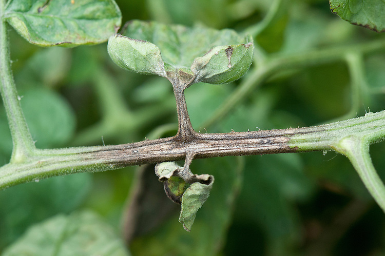 A tomato stem affected by blight. Sometimes known as tomato late blight to distinguish it from tomato early blight, caused by a different fungus: Alternaria solani.