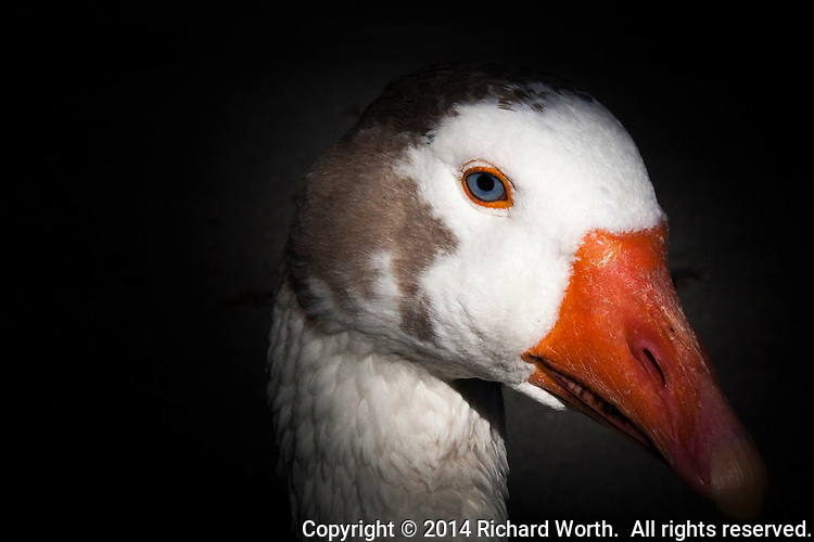 A blue-eyed domestic goose came close, hoping for treats, perhaps some totally inappropriate bread  scraps?  Instead, it only had its picture taken, and is the healthier for it.