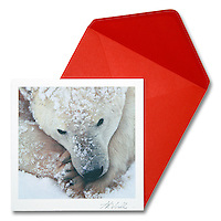 Polar Bear at Rest<br />