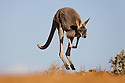 Australia,  NSW, Sturt National Park; red kangaroo female (Macropus rufus) hopping; the red kangaroo population increased dramatically after the recent rains in the previous 3 years following 8 years of drought