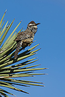 598060040 a wild adult cactus wren campylorhynchus brunniecepillus sings from the spine leaves of a joshua tree yucca brevifolia in southern kern county california