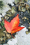 Red maple leaf (Acer rubrum) and lichen, fall, Shining Rock Wilderness, Pisgah National Forest, North Carolina