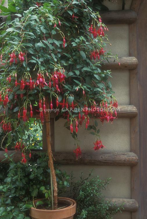 Fuchsia standard in pot | Plant & Flower Stock Photography ...