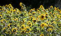 2012_09_18_SUNFLOWER_INSECTS