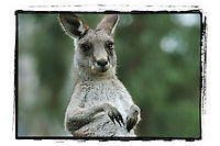 Images of Kangaroos in the Australian bush by photographer James Horan