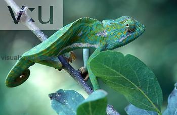 Flap Neck Chameleon ,Chamaeleo dilepis, Samburu, Kenya