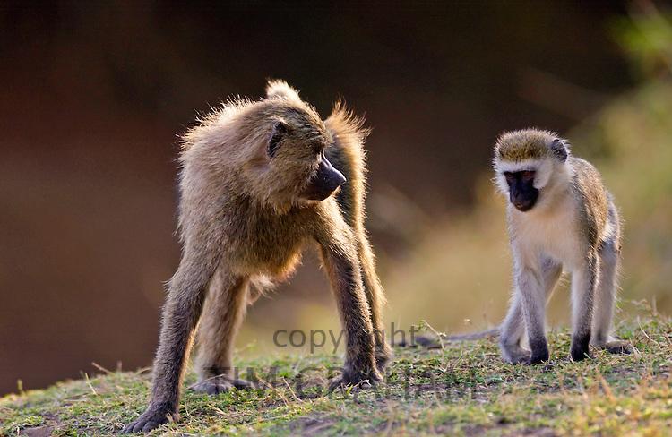 Olive Baboon glaring at Vervet Monkey (Green Monkey), Grumeti, Tanzania