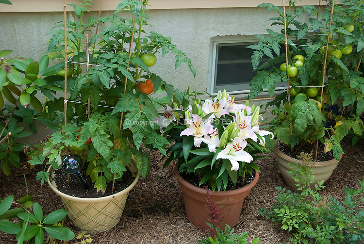 Container garden with tomato vegetables, lilies lilium flowers next to house