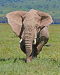 African elephant (Loxodonta africana) charging in the Ngorongoro Crater, Tanzania